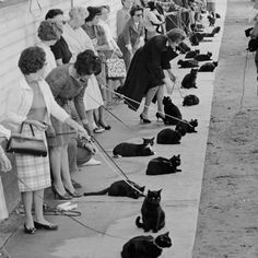 1961 Hollywood, CA... following a newspaper casting call, auditions are taking place for black cats-- 152 cats are in attendance. Those with white noses or paws are sent home..... #catsofinstagram #caturday #catstagram #cat #catlover #vintage #halloween #blackcat #meow #nationalcatday #love #retro