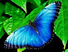 """Mariposa """"Morpheus""""   Conoce los beneficios y la importancia de las mariposas en nuestro cultivo de café"""