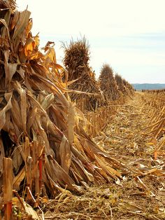 Fall Harvest by Shutterfool via Flickr. Cornfield on Rt. 56, Circleville Ohio.