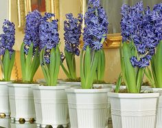 Hyacinth in pots. Amazing fragrance!