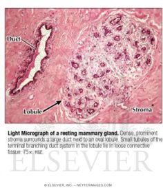 Imagini Pentru Lobules Of Breast Histology