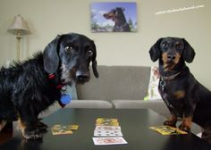 A little game of cards with a wire haired! Click to read my new post.