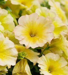 Suncatcher Pink Lemonade Petunia - LOVE this