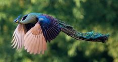 "Favorite tweet by @orangeflower08 // あまりみかけることのない飛翔する孔雀クジャク)が神のような美しさ  http://55.sasanov.net/1W4zz7E  この瞬間を目撃できる人は少ないそうだが""危険""を感じた時に孔雀は飛ぶという http://55.sasanov.net/1pbXtnw"