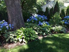 Blue hydrangeas and hosta bed