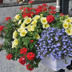 Hotwater Blue Lobelia, Potunia Yellow Petunia, and Empress Flair Dark Red Verbena. Arrange them in your flowerpots, windowboxes, or sunny annual bed.