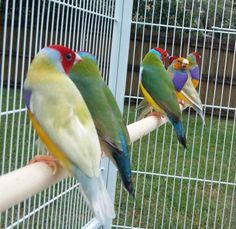 Fresh Lady Gouldian Finch Arivals (singles and pairs)