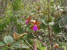 cultivando Orquídeas e idéias: Cattleya Bicolor