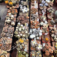 Lithops collection