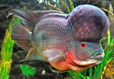 flowerhorn fish pictures | Auspicious: The Flower Horn Fish (vasthu fish) in a fish tank.