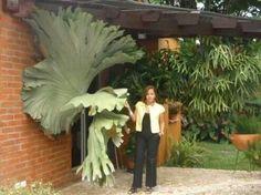 OMG giant staghorn fern