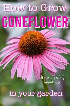 Coneflower aka Echinacea is easy to grow, even for the beginner gardener. Great in the cottage garden and is beautiful cut. Drought tolerant and not too picky about soil. You can grow this in your garden today. Lots of colors to choose from. Gardening For Beginners, Gardening Tips, Cottage Garden Plants, Cottage Gardens, Flower Garden Design, Flower Patch, Ornamental Plants, Planting Flowers, Fruit Flowers