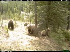 These bears are tree-huggers in the truest sense of the word. Another reminder why forests are SO important! www.dogwoodalliance.org