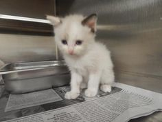 Nia - URGENT - PIKE COUNTY ANIMAL SHELTER in Pikeville, Kentucky - ADOPT OR FOSTER - Female Domestic SH KITTEN