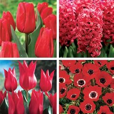 Really, Really Red Garden  The greatest #color for excitement in any #garden is naturally #red. These #flowers literally scream color to the garden visitor as their brilliance shines through the #foliage and the other #plants competing for your attention.  Contains the following: - Three Red Triumph Tulips - Two Red Hyacinths - Three Lily Flowering Tulips - Seventeen Anemone Hollandia   Plus...1 Red Collapsible Storage Crate