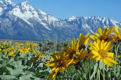 wildflower (mule's ear) and mountain