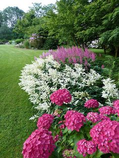 Pink Hydrangea macrophylla next to white and pink Astilbe arendsii