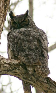 http://faaxaal.forumgratuit.ca/t1567-photos-de-rapaces-grand-duc-d-amerique-grand-duc-de-virginie-bubo-virginianus-strix-virginiana-great-horned-owl
