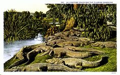 Alligators Florida Vintage Postcard Unused by postcardsofthepast Vintage Florida, Old Florida, Tampa Florida, Central Florida, Florida Style, Florida Gators, Florida Sunshine, Sunshine State, Palm Beach