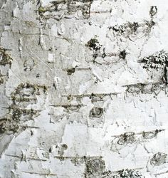 birch tree bark - The fabric in using to reupholster the office chair will be in this style. Like sitting on a giant tree :-) Birch Bark, Birch Trees, Giant Tree, Tree Bark, Wedding Stationary, Stock Photos, Landscape, Abstract, Illustration