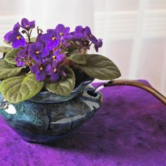 These easy-care little wonders provide year-round blooms in a range of colors. Here's how to grow African violets, including tips on watering, feeding, shaping, cleaning and repotting.