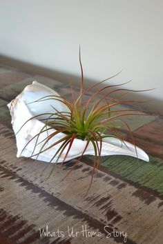 Decorating with Air Plants, Air plant in a seashell, Tillandsia www.whatsurhomestory.com