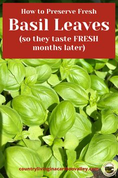 The easiest way to preserve fresh Basil leaves is to freeze them. Here's how to store Basil so it still tastes fresh months later. Quick and easy way to preserve herbs. #preserving #herbs #basil #freezing #icecubetrays Hanging Herb Gardens, Vertical Herb Gardens, Hanging Herbs, Succulent Terrarium, Planting Succulents, Air Plants, Cactus Plants, How To Preserve Basil, Preserve Herbs