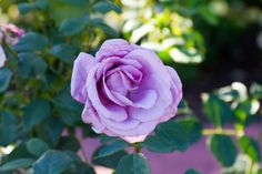 Light Purple Roses | photo Rose Photos, Purple Roses, Light Purple, Flowers, Plants, Florals, Plant, Flower, Bloemen