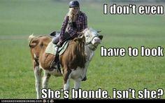 Cow, funny, blonde, ride, lol, joke, stupid, heffer, jockey, not a horse