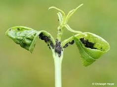 Blattläuse bekämpfen: 1 EL Schmierseife auf 1 Lt Wasser plus 1 Spritzer Spiritus. Mehrere Tage aufeinander nass spritzen