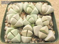 Lapidaria margaretae - Young Seedlings / Plants