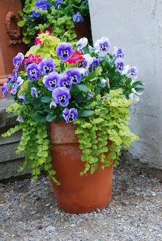 pansies, creeping jenny, geranium and sweet potato vine...