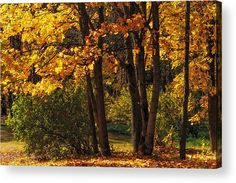 Splendor Of Autumn. Maples In Golden Dresses Acrylic Print by Jenny Rainbow.  All acrylic prints are professionally printed, packaged, and shipped within 3 - 4 business days and delivered ready-to-hang on your wall. Choose from multiple sizes and mounting options.