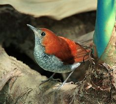 Ryukyu Robin, taken at Yehliu, Taipei County, Taiwan - photo by John&Fish, via Flickr