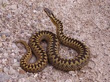 Info LINK > An adult female adder. (These can be seen at Gors Maen Llwyd in North Wales). jp.