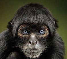 Peruvian Black Spider Monkey #Memocracy