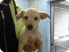 San Bernardino, CA - Labrador Retriever Mix. Meet URGENT on 1/28 SAN BERNARDINO, a puppy for adoption. http://www.adoptapet.com/pet/17450105-san-bernardino-california-labrador-retriever-mix