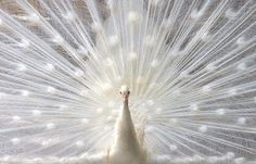 A pinner states: Beautiful white peacock. What an amazing creature! A restaurant at Lake Whitney has White Peacock's. They truly are beautiful! White peacocks are not albino! Pavo Real Albino, Albino Peacock, Beautiful Birds, Animals Beautiful, Beautiful Things, Beautiful Pictures, White Peacock, Peacock Art, Green Peacock