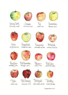 Apple Chart Watercolor Art Print Cheerful Decor for Home Kitchen Honeycrisp McIntosh Gravenstein Gala Granny Smith Apples Wall Art Poster Granny Smith, Apple Chart, Apple Varieties, Mini Apple, Apple Fruit, Apple Pie, Kunst Poster, Food Drawing, Food Illustrations