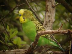 I had a parakeet that looked just like this, it was my first pet of my own. His name was Paderp.     ------------    Budgerigar @ Hernando Beach, FL (Steve Glynn, So Jersey Birder).