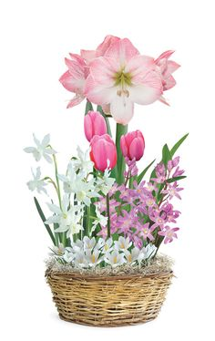 Pink & White Delight Gift Basket - Veseys -  Contents: 21 bulbs; 1 Amaryllis Appleblossom 24-26 cm, 3 Tulip Early Glory 12+ cm, 5 Narcissus Thalia 12-14 cm, 5 Glory of the Snow Pink 4-5 cm, 7 White Crocus 9-10 cm, Straw woven basket and decorative moss.