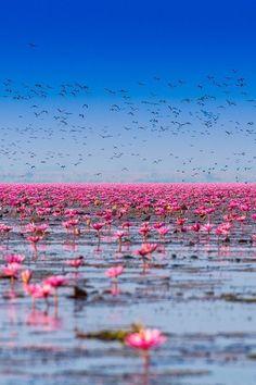 "ponderation: "" Pink Lotus Lake by Siripong Kaewla-iad "" Beautiful World, Beautiful Places, Beautiful Pictures, Nature Photography, Travel Photography, Foto Gif, Photo D Art, Parcs, Land Art"