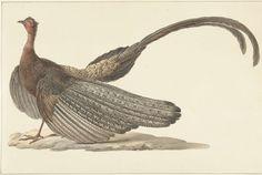 Argus Pheasant, Pieter Pietersz. Barbiers, c. 1780 - c. 1842