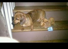 Bella and her Webkinz #Dachshund from FB