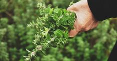 Melia Oregano is hand-picked in Greece and dried with natural means! Our oregano is available in vacuumed packages of Organic Herbs, Organic Gardening, Herb Gardening, Planting, Tortillas, Easy Care Plants, Deer Resistant Plants, Natural Antibiotics, Herb Seeds