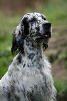 Elegant breed