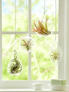 Air plants in the kitchen window? Easy. These guys just need to be misted 2-3 times a week, so they don't need to be removed from their little homes.