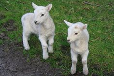 My Love of Animals: A Few Lamb Facts