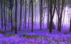 This is a view of Bluebell flowers in the woods.  Did you know that bluebells themselves possess some chemical that keep bugs and other small animals away from them. For this reason scientist have studied bluebells to see if it is possible to manufacture more pesticides to be used on other plants and yet safe for humans and other animals to be around.