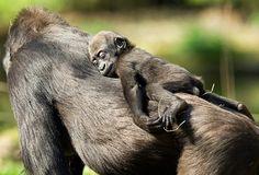 Gorilla  気持ち良さそうに、うたた寝する赤ちゃんゴリラ♪♪